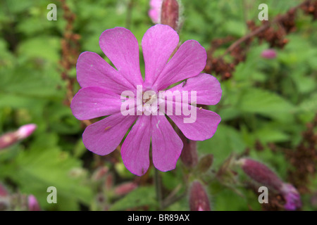 Close Up of A Red Campion Wildflower (Silene dioica) in Summer, UK - Stock Photo