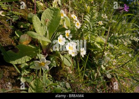 Primrose flowers growing on earth bank - Primula vulgaris - Stock Photo