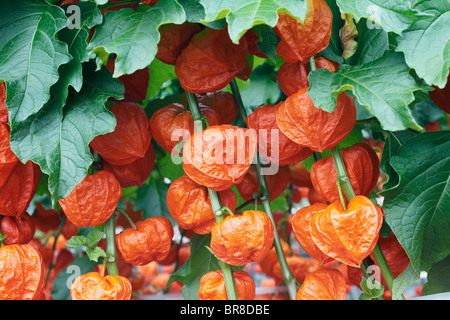 Chinese Lantern Lilies - Stock Photo