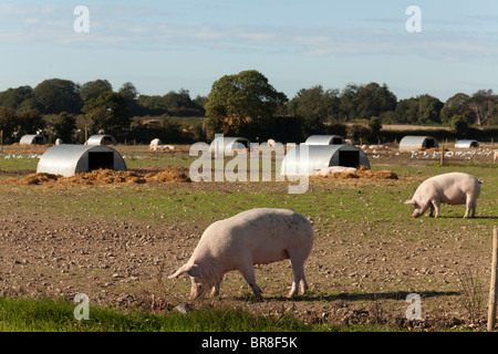 Outdoor reared free range gloucester old spot pigs on a farm with huts - Stock Photo
