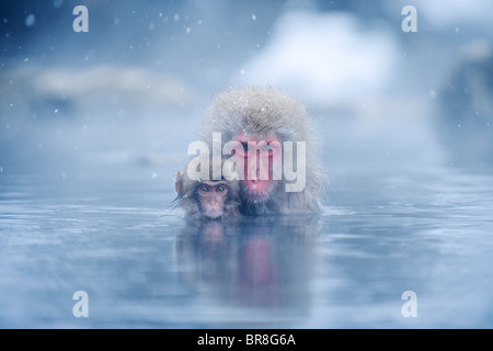 Two Japanese macaques (Macaca fuscata) in hot spring - Stock Photo