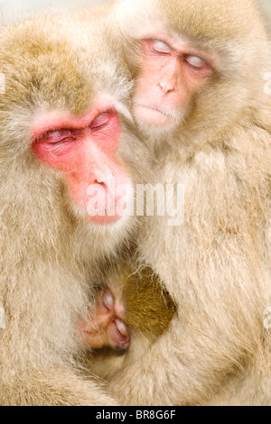 Family of Japanese macaques (Macaca Fuscata) embracing - Stock Photo