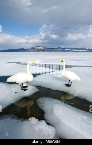 Two swans standing on ice - Stock Photo