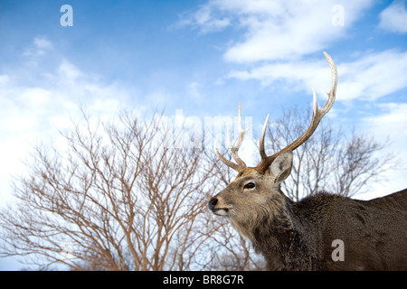 Male Sika deer (Cervus nippon) - Stock Photo