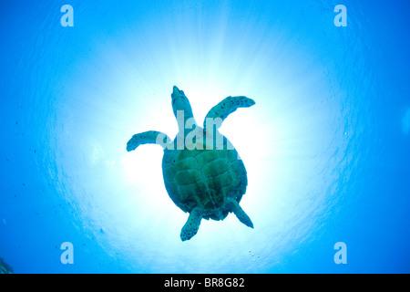 Sea turtle swimming underwater - Stock Photo