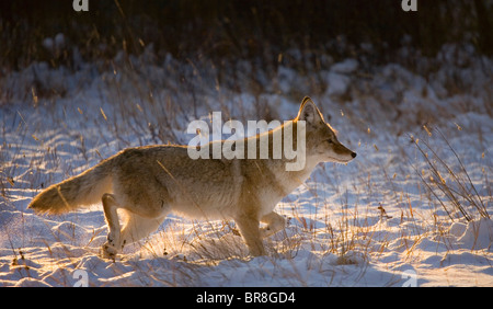 A Coyote trotts through fresh snow at sunrise. - Stock Photo