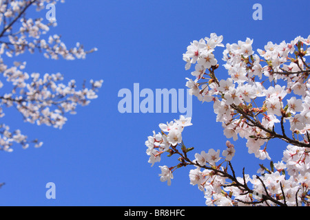 Cherry flowers on branch, close up, blue background - Stock Photo