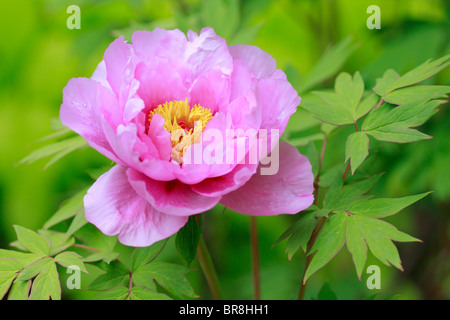 Peony, close up - Stock Photo