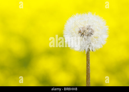 Seeds of dandelion, close up, differential focus, copy space - Stock Photo