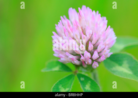 Red clover flower, close up, differential focus - Stock Photo