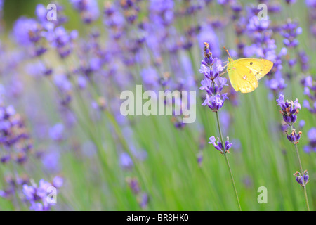 Butterfly on lavender, close up, differential focus - Stock Photo
