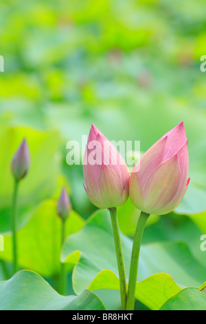 Buds of lotus flowers, close up, differential focus - Stock Photo