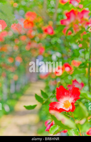 Rose greenhouse, close up, differential focus - Stock Photo