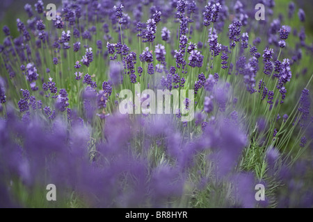 Field of lavenders, differential focus - Stock Photo