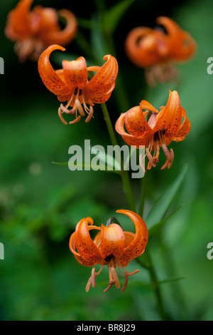 Orange lilies, close up, differential focus - Stock Photo