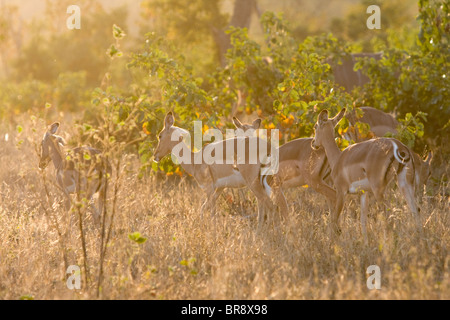 Common impala, Aepyceros melampus, walking away in Kruger National Park in South Africa - Stock Photo