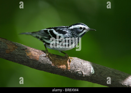 Adult Male Black-and-white Warbler Perched on a Branch - Stock Photo