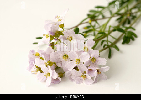 Cuckoo Flower, Ladys Smock (Cardamine pratensis), flowering stalks. Studio picture against a white background. - Stock Photo