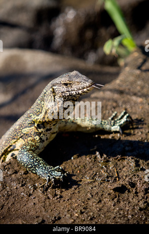 African Water Monitor lizard, Varanus niloticus, in Kruger National Park, South Africa - Stock Photo