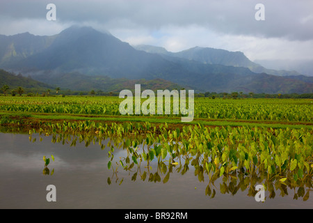 Kauai, HI: Hanalei Valley taro fields in Hanalei National Wildlife Refuge - Stock Photo