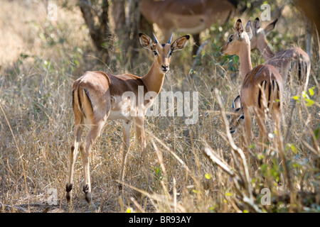 Common impala, Aepyceros melampus, in Kruger National Park in South Africa - Stock Photo