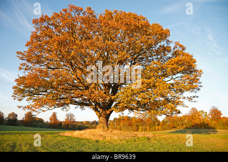 Big, old oak tree, common oak, English oak, Quercus robur, on field with fall brown coloured leaves in autumn sunset, - Stock Photo