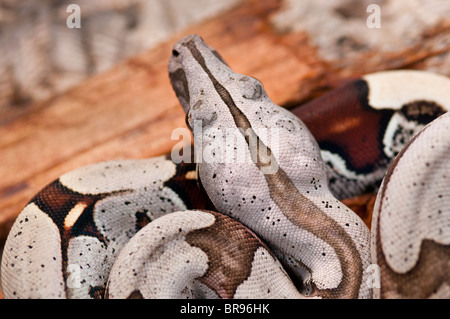 Young Red Tailed Boa constrictor from Suriname - Stock Photo