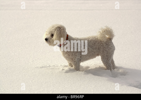 A white dog walks in the snow on a frozen lake. - Stock Photo