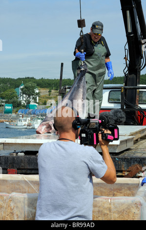 Un-Loading Swordfish From The Hannah Boden Fishing Boat, From The Discovery Channel Show, Swords Life On The Line - Stock Photo