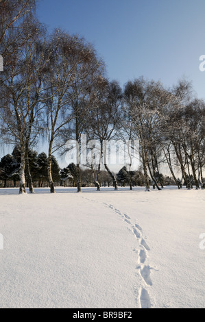 Footsteps across virgin snow over South Staffordshire Golf Course leading to a row of snow-covered silver birch - Stock Photo