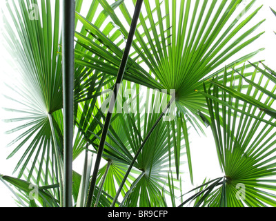 leaves of palmtrees - canton of ticino - switzerland - Stock Photo