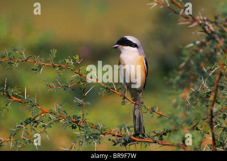 Bay-Backed Shrike (Lanius vittatus) perched on a branch of a thorny bush in Gujarat, India - Stock Photo