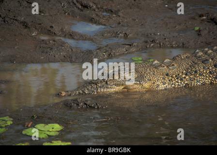 A Saltwater Crocodile (Crocodylus porosus) resting in mud in Yellow Waters Billabong, Kakadu National Park, Australia. - Stock Photo