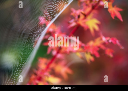Spiders web in a garden in front of an acer tree - Stock Photo