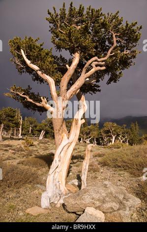 Rocky Mountains Bristlecone Pines (pinus aristata) on Mount Evans, Colorado, USA. - Stock Photo