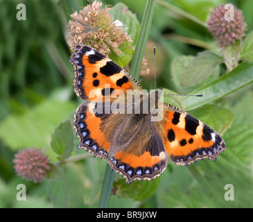 Small Tortoiseshell butterfly Aglais urticae a fine imago of the autumn brood in the UK feeding on water mint flowers - Stock Photo