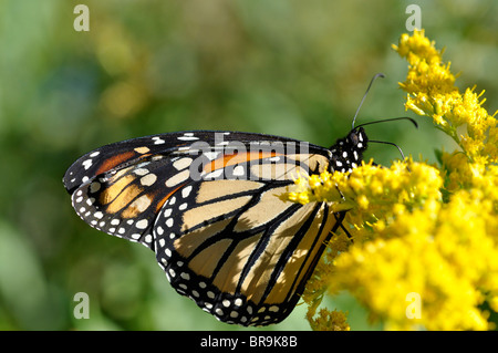Monarch Butterfly (Danaus Plexippus) - Stock Photo