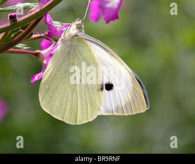 Large White butterfly Pieris brassicae feeding on Greater Willowherb - Stock Photo