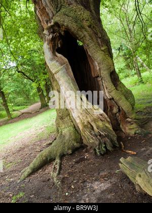 An oak tree in Sherwood Forest, Nottinghamshire England UK - Stock Photo