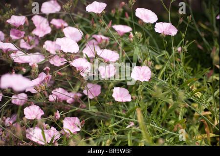 Convolvulus cantabricus - Stock Photo