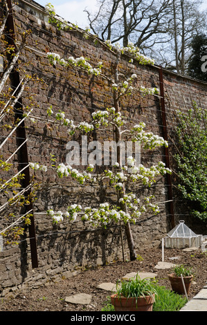 Blossom on a pear tree named Beurre Hardy in a walled garden Lost Gardens of Heligan in Cornwall SW England UK - Stock Photo