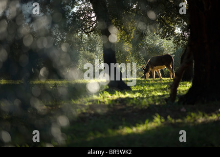 A donkey grazes in an olive grove - Stock Photo