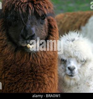 Alpaca (Vicugna pacos / Lama pacos) close up, native to South America - Stock Photo