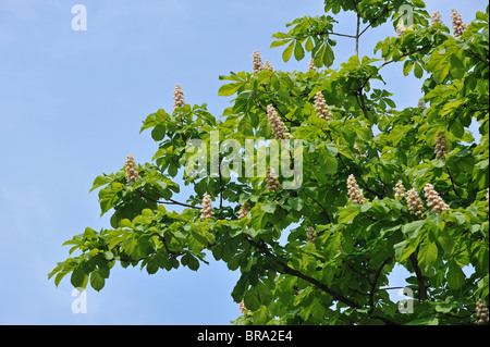 Horse-chestnut / Conker tree (Aesculus hippocastanum) showing foliage and flowers in spring, Belgium - Stock Photo