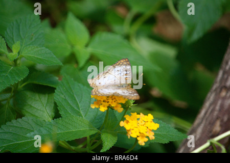 White, Tan, & Orange Butterfly sitting on a yellow flower surrounded by green leaves and a tree branch. - Stock Photo