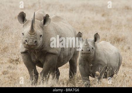 WHITE RHINOCEROS COW AND CALF TANZANIA AFRICA - Stock Photo