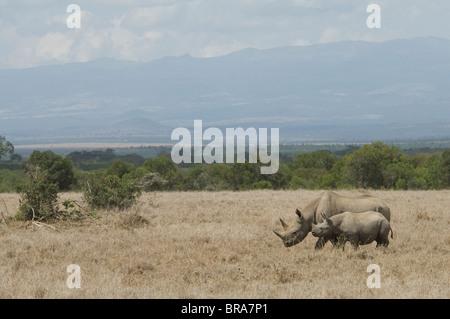 WHITE RHINO COW AND CALF TANZANIA AFRICA - Stock Photo