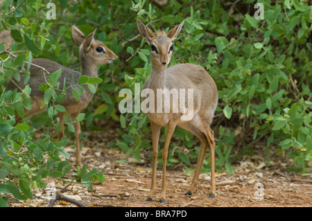 TWO SMALL DIK-DIK DIKDIK ANTELOPE IN GREEN UNDERBRUSH TANZANIA AFRICA - Stock Photo