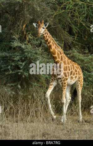 ROTHSCHILD GIRAFFE LAKE NAKURU NATIONAL PARK KENYA AFRICA - Stock Photo