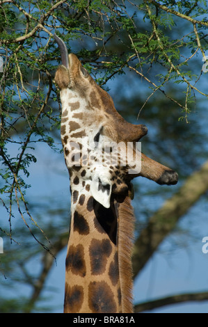 ROTHSCHILD GIRAFFE BROWSING IN TREE BRANCHES WITH TONGUE EXTENDED LAKE NAKURU NATIONAL PARK KENYA AFRICA - Stock Photo
